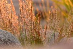 (evisdotter) Tags: summer macro grass strand evening bokeh sunsetlight åland gräs sooc