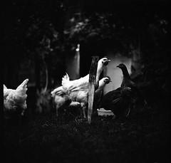 Omelette factory (Salt.as) Tags: portrait bw white black chicken 120 6x6 monochrome rollei analog dark square noir negative medium format dinning 100 russian drama 90mm kiev vega 6c 12b rpx