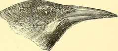 """Image from page 948 of """"A dictionary of birds"""" (1893)"""