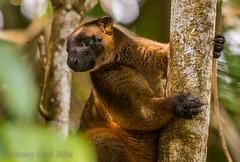 Lumholtzi-8648 (Henry.Cook) Tags: bear wild baby tree male nature animal female mammal furry teddy joey wildlife kangaroo pouch queensland marsupial rare lumholtz malanda dendrolaguslumholtzi lumholtzs