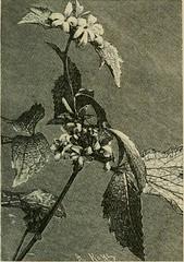 Anglų lietuvių žodynas. Žodis clematis verticillaris reiškia raganė verticillaris lietuviškai.