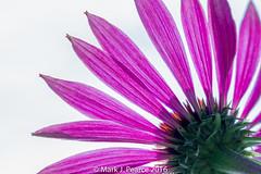_MG_0168.jpg (Mark J Pearce) Tags: t189 echinacea flower rhs wisley high contrast rhswisley highcontrast
