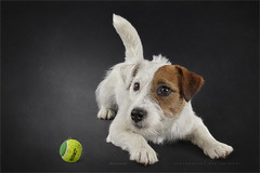 The making of 2 (Marijke M2011) Tags: dog dogportrait terrier jackrussellterrier animal pet petportrait cute love huisdier hond hondenportret indoor studio studiolightning friend