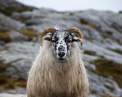 Ram (Morten T.) Tags: ram male sheep animal horns oldnorwegianspælsau canoneos80d canon eos 80d tamron tamronlens thisphotorocks wildsheep