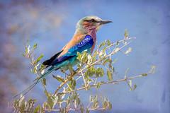 Painterly Lilac Breasted Roller (Kayla Stevenson) Tags: africa moremigamereserve khwairiver lilacbreastedroller birds