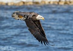 Bald Eagle (BirdFancier01) Tags: raptor eagle birdofprey nature river iowa leclaire lockanddam14 wildlife avian
