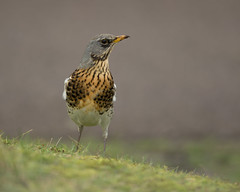 Fieldfare (Markp33) Tags: