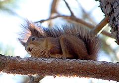 Белка обыкновенная / Sciurus vulgaris / Eurasian Red Squirrel / Обикновена катерица / Eichhörnchen
