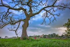 _U1H8734 Phu Tho 0317 (HUONGBEO PHOTO) Tags: đồngquê việtnam phúthọ mùahoagạo câyhoagạo beautiful redsilkcottontree tree photography colorful scenery outdoor