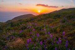 California Super Bloom Sunset (PatrickDillonPhoto.com) Tags: californiasuperbloom earth god hiking malibu spring sunset clouds landscapephotography nature weather creation wonders lupine wildflower