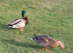 dnc201703-001 (tbird1972) Tags: d800 potsdam sanssouci nature bird birds ducks duck nikon