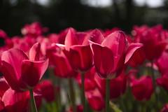 _DSC0702 (Riccardo Q.) Tags: parcosegurtàtulipani places parco altreparolechiave fiori tulipani segurtà