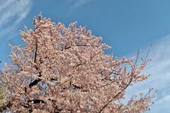 Cherry flowers (namhdyk) Tags: sakura cherry cherryblossoms blossoms flower canon canonpowershot canonpowershotg7x