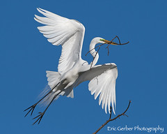 Great Egret (Eric Gerber) Tags: egrets egret bird birds egretlake ericgerber greategret nature nest nesting photography photos wild wildlife