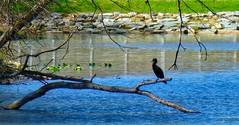 Allen Pond Park Apr 9, 2017, 9-047_edit (krossbow) Tags: allenpondpark bowie doublecrestedcormorant maryland water photolemur