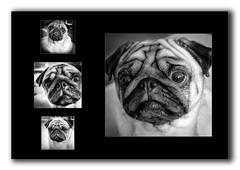 DougThePug (nathcarrier87) Tags: canon 70d doug pug black white dog sad wrinkles