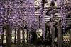 DSC_1653 (sayo-tsu) Tags: 埼玉県 春日部市 kasukabe saitama wisteria 藤 特別天然記念物 牛島のフジ