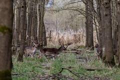 4D3A7820 (marcwalter1501) Tags: damadama daim forêts animaux selestat illwald 5dmk4 canon cervidé