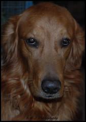 """ Intensive Stare ! "" (KLF & JRN) Tags: kjphotography goldenretriever fieldretriever pointynoseddogs brantford dog pet animal"