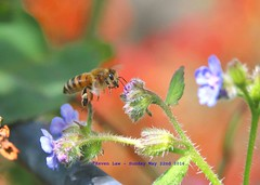 Honey To The Bee........... (law_keven) Tags: bee bees insects garden flowers catford london england uk micro microphotography photography pollen pollinators honeybee