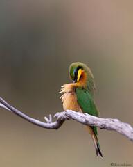 Little Bee-eater (leendert3) Tags: littlebeeeater ngc npc sunrays5 leonmolenaar krugernationalpark southafrica wildlife nature bird