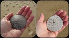 Sand dollar. (France-♥) Tags: collage sanddollar beach main hand californie seaurchin mort dead skeleton nature oursin