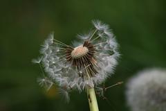 bankhol 077a (philomena plunkett) Tags: wildflower seed dandelion white flower