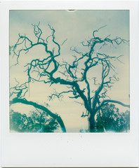 Branched (T-Terror) Tags: polaroid springpolaroidweek2017 day4 roidweek2017 roidweek polaroidweek instant color impossibleproject polaroidsx70 arizona grandcanyon tree plant nature