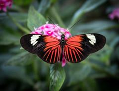 Madeira Butterfly (Lee J2) Tags: madeira inexplore butterfly hersheygardens butterflyatrium pennsylvania