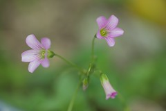 Tiny Flowers (Vincent_Ting) Tags: 微距 macro 散景 bokeh field taiwan zeiss100mmf2 vincentting closeup 特寫