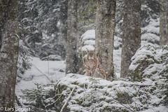Lynx Lynx in Snow (lars.begert) Tags: bayrischerwald eurasischerluchs luchs bavarianforest lynxlynx