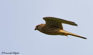 Peneireiro vulgar (Falco tinnunculus)