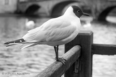 #2016 #brujas #brugge #bruges #bélgica #belgium #animal #ave #bird #ciudad #city #viajar #travel #trip #canal #channel #water #reflejos #reflexes #blancoynegro #blackandwhite #photography #photographer #picoftheday #sonystas #sonyimages #sonyalpha #sonyal (Manuela Aguadero) Tags: blackandwhite trip brujas city sonystas 2016 reflexes water sonya350 sonyimages ciudad animal brugge bélgica viajar channel picoftheday belgium photography bird sonyalpha sonyalpha350 ave reflejos photographer blancoynegro alpha350 bruges canal travel