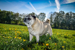 Mrs Golombeck (#fuerstlife) Tags: pug mops dog photoghraphy fotografie nature wiese hund friend fuerstlife animal