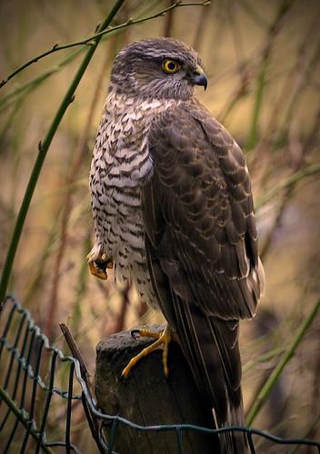 sparrow-hawk in the backyard