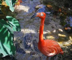 Key West (Florida) Trip 2016 0202Ri 5x6 (edgarandron - Busy!) Tags: florida keys floridakeys keywest butterflyhouse keywestbutterflyandnatureconservatory bird birds flamingo