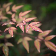 葉 (23fumi@fuyunofumi) Tags: ilce7m2 sony 50mm sel50f18 e50mmf18oss leaf leaves water waterdrop plant bokeh 植物 葉 水 雨 ソニー