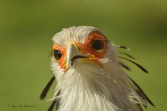 Secretarisvogel 2 (Agnes Van Parijs) Tags: bird vogel planckendael dierenpark zoo muizen mechelen