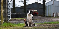 Guard dogs and tractors (lisheeny) Tags: border collie chihuahua farm 290 massey ferguson tractor littledoglaughedstories