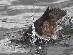 Making a Splash (FluvannaCountyBirder754) Tags: ringneckedduck female diving divingduck duck waterfowl virginia richmond fountainboatlake birdwatching bird birds birding birder