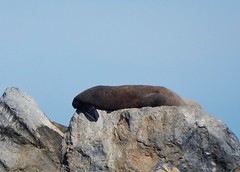 Seal in the Sun (mikecogh) Tags: semaphore breakwater rocks seal asleep basking flipper