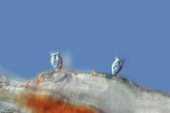 RHABDOSTYLA CYCLOPIS, CAMPO DE FLOR BAJO EL AGUA. ARRIBES DEL DUERO (PROYECTO AGUA** /** WATER PROJECT) Tags: proyectoagua pondlife microscopy antonioguillén tablasdedaimiel ciudadreal iesbatalladeclavijo fotografíamicroscópica microfotografía microscopio microphotography vidaocultadelagua microorganismos fotografíasmicroscópicas photomicrography imágenesmicroscópicas vidaoculta lavidaocultadelagua thelifehiddenofthewater taxonomy:kingdom=protozoa taxonomy:phylum=ciliophora taxonomy:class=ciliatea taxonomy:order=peritrichitida taxonomy:family=epistylidae taxonomy:genus=rhabdostyla taxonomy:species=cyclopis taxonomy:binomial=rhabdostylacyclopis cyclops rhabdostylacyclopis arribesdelduero torregamones zamora mirandadodouro ebi estaciónbiológicainternacional