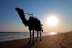 Camel Riding on the Beach [Explored] (pallab seth) Tags: camel rider silhouette odisha puri bayofbengal india samsungnx300m samsung16mmf24ifunctionlens sunset seabeach orissa 2016