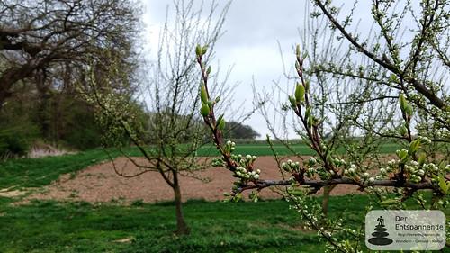 Beginnende Obstblüte am Ober-Olmer Wald