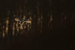 R17_7101 Golden Hour (ronald groenendijk) Tags: cronaldgroenendijk 2017 asioflammeus rgflickrrg animal bird birds birdsofprey groenendijk nature natuur natuurfotografie outdoor owl owls ronaldgroenendijk roofvogels shortearedowl velduil vogel wildlife