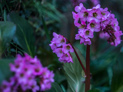 Twilight portrait Bergenia purpurascens (study, out-of-cam) (tuvidaloca) Tags: rosa blauestunde dof cárdeno twilight abenddämmerung grün bergeniapurpurascens bergenia desenfoque green bergenie purpur ts parcial tiltshift outofcam purpurrötlichebergenie crimson pink mischlicht bokehextreme bluehour verde purple bokeh scheimpflugscheregel scheimpflugprinciple schärfedehnungnachscheimpflug sharpnessstretchaccordingtoscheimpflug staudedesjahres2017 perennialoftheyear2017germany