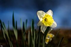 Narcissus pseudonarcissus (roland_lehnhardt) Tags: canon eos60d ef100mmf28usm natur landschaft blumen flowers gelb yellow wiese gras blau blue horizont nahaufnahme closeup bokeh pov dof narcissuspseudonarcissus narzisse spring frühlung