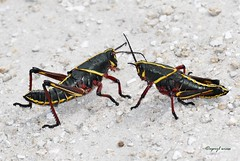Eastern Lubber Grasshopper (Apryl Wiese) Tags: lubber grasshopper