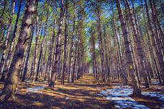 Larch Pine Trail, 2017.03.29 (Aaron Glenn Campbell) Tags: fssp francesslocum statepark kingstontownship wyoming luzernecounty pennsylvania outdoors nature larchpines optoutside sun sunny dappled shadows shade adobecameraraw photoshopcc ±2ev 3xp hdr macphun aurorahdr2017 nikcollection analogefexpro colorefexpro sony a6000 ilce6000 mirrorless rokinon 12mmf2 wideangle primelens manualfocus emount tiffen cpfilter circularpolarizer