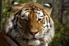 Tiger (yve_all) Tags: tiger tiere animals wildkatze wildlife licht light colours farben blickwinkel view natur nature zoo